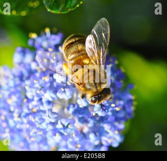 Apis mellifera/ Europeo occidental o la recolección de miel de abeja el néctar y el polen en las primeras horas de la mañana el sol