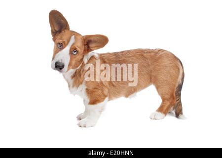 Perro Corgi Galés