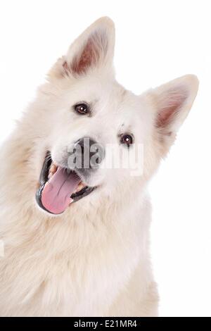 Perro Pastor blanco