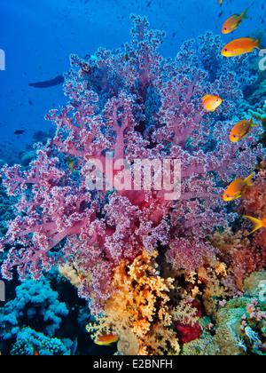 Coloridos corales blandos