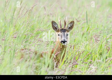 Corzo joven alimentando entre hierba en un prado, Norfolk, Inglaterra Foto de stock