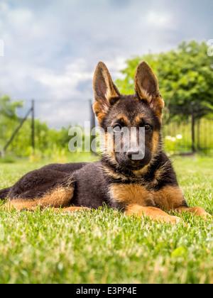 Cachorros Pastor Alemán tumbado en la hierba