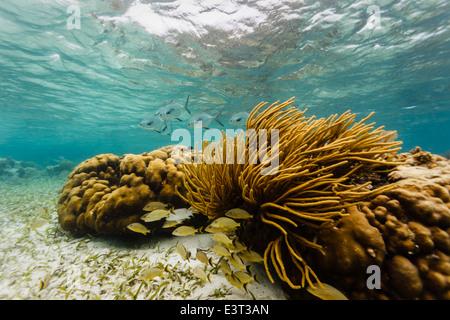 Escuela de peces con permiso de plata grande negro colas de enfoque de arrecifes de coral de la escuela de peces pequeños escondido debajo de corales ramificados Foto de stock