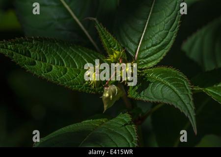 Las yemas de flores y hojas superiores del molesto Himalyan Bálsamo / Impatiens glandulifera - que le gusta el suelo húmedo / tierra.