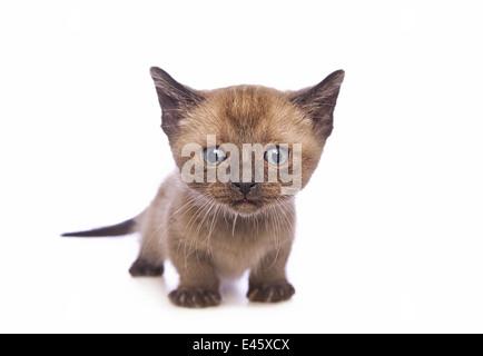 Lindo gatito Munchkin con cabeza grande aislado sobre fondo blanco.