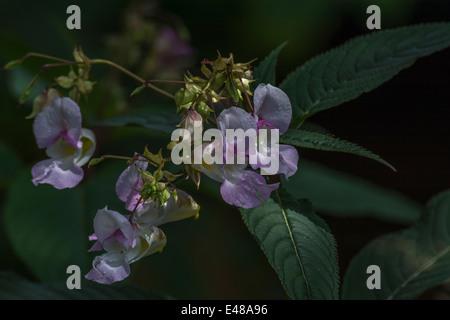 Flores y hojas superiores del molesto Himaalyan Bálsamo / Impatiens glandulifera - que le gusta el suelo húmedo / tierra.