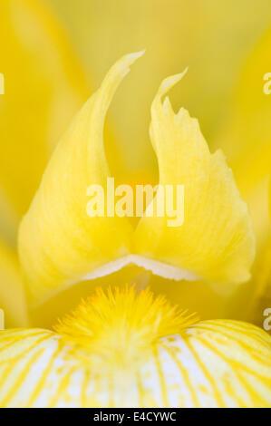 Close-up de Iris barbado amarillo