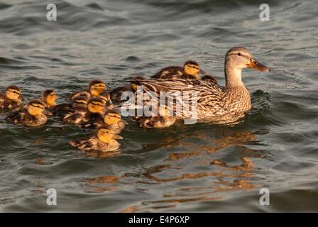 Ánade gallinas y patos con madre delante de natación