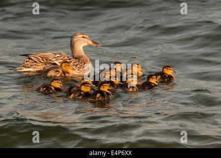Pato gallina y sus trece patitos nadando en frente de ella