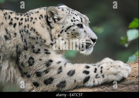 Retrato de Snow Leopard (Panthera unica) en Zoo, Nuremberg, Baviera, Alemania