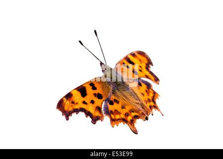 Solo Mariposa, Naranja, Coma Polygonia c-album, recorte aislado sobre fondo blanco con trazado de recorte alas en sun