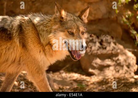 Un lobo gris mexicano (Canis lupus baileyi spp.), reside en el Museo del desierto Arizona-Sonora, Tucson, Arizona, EE.UU.