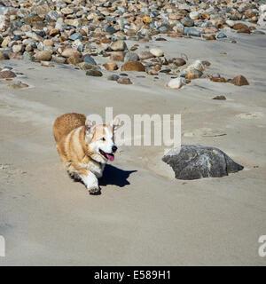 Pembroke Welsh Corgi caminando por la playa.