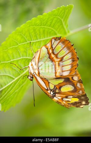 El noroeste de Londres, Golders Hill Park , Malaquita Siproeta Stelenes mariposas , nativo de América Central y del Sur , en la hoja peregrino
