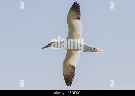 Un norte de alcatraces (Morus bassanus; Sula bassana) vuela volando en vuelo flying airborne contra un cielo nebuloso Foto de stock