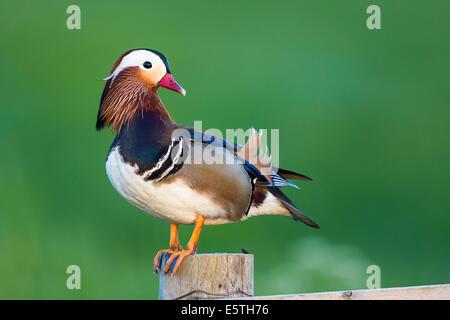 Pato mandarín (Aix galericulata), macho, drake, posado sobre un poste de cerca, Texel, Holanda Septentrional, en los Países Bajos