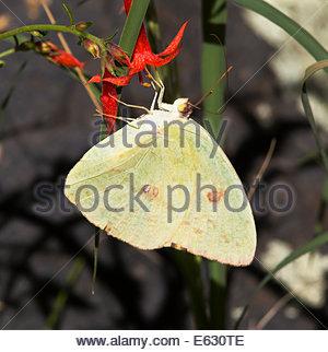 Azufre despejado Phoebis sennae Butterfly Arizona