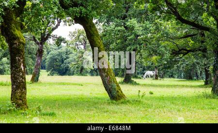 Una de caballos Lipizzaner en la pradera de Eslovenia