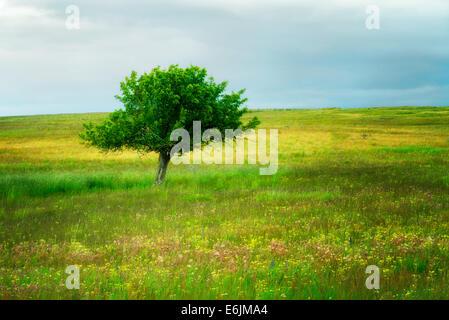 Lone Tree y flores silvestres. Prairie Zumwalt, Oregón