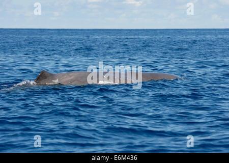 Cachalote, Physeter macrocephalus, flotando en la superficie. Azores, el Océano Atlántico.