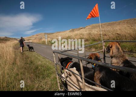 Agricultor con perros de trabajo, redondeando las ovejas, ovejas llegando desde la carretera, Isla del Norte, Nueva Zelanda