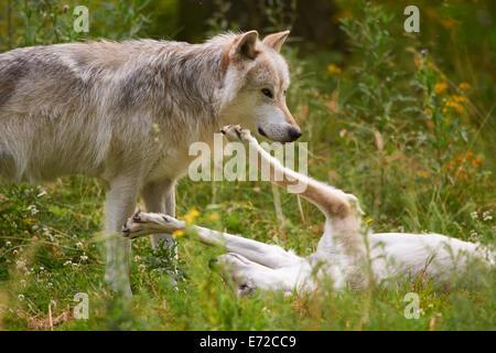 2 gris o gris el lobo (Canis lupus)