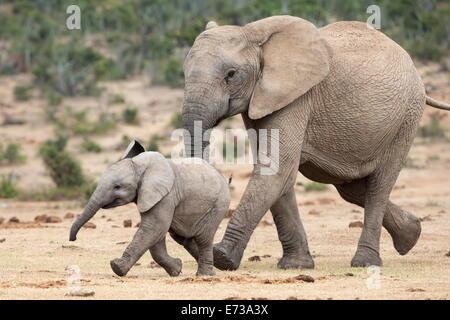 Elefante africano (Loxodonta africana) y de la pantorrilla, corriendo con el agua, el Parque Nacional de Elefantes Foto de stock