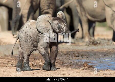 La pantorrilla del elefante africano (Loxodonta africana) en Hapoor waterhole, Parque Nacional de Elefantes Addo, Sudáfrica, África Foto de stock