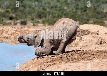 Bebé elefante africano (Loxodonta africana) potable en Hapoor waterhole, Parque Nacional de Elefantes Addo, Eastern Cape, Sudáfrica Foto de stock