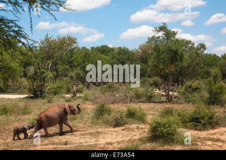 El elefante africano (Loxodonta africana) de salir del agua, reserva Madikwe, North West Province, Sudáfrica, África