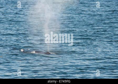 Canadá, Québec, Sagueany fiordo. Rorcual común (Wild: alaenoptera physalus) aka finback o razorback whale.
