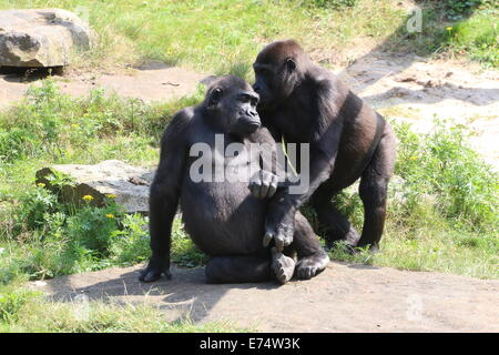 Dos gorilas hembras maduras, los miembros de un grupo de gorilas de las tierras bajas occidentales en el zoo Apenheul, Países Bajos