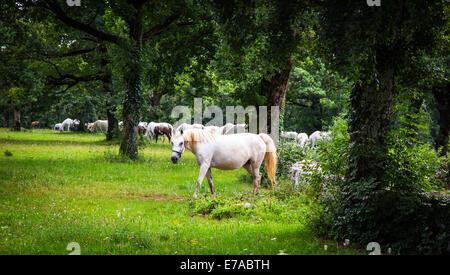 Caballos Lipizzaner en la pradera de Eslovenia