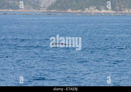 Canadá, Québec, Sagueany fiordo. Rorcual común o ballena finback aka razorback (Wild: Balaenoptera physalus) rodeado por la junta del puerto