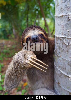 Retrato de Brown-Throated perezoso en un árbol, Panamá, América Central