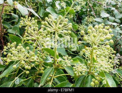 Flores silvestres de Hedera helix hiedra común en inglés un seto Foto de stock