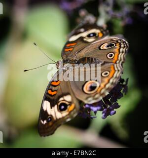 Buckeye Junonia Coenia común