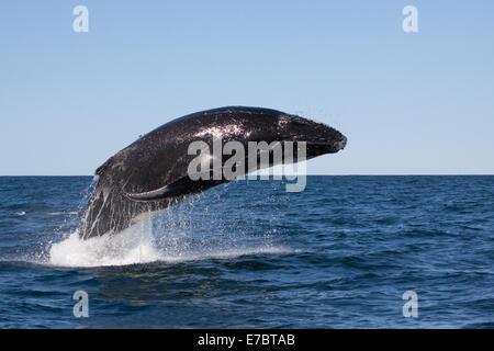Jóvenes de la ballena jorobada (Megaptera novaeangliae) Infracción, saltando en Byron Bay, New South Whales, Australia