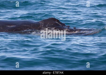 La ballena jorobada (Megaptera novaeangliae) surgen en Byron Bay, New South Whales, Australia