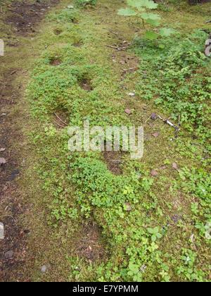 Las huellas de generaciones de zonas costeras El oso pardo (Ursus arctos horribilis) que siga la misma ruta durante años, en Alaska.