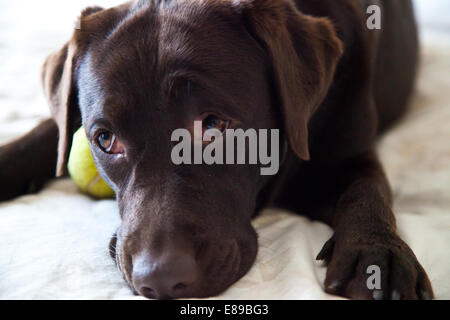 Labrador Retriever chocolate retrato de perro adulto hembra
