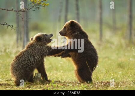 Dos crías de oso pardo (Ursus arctos combates play) en bosques de taiga, Finlandia