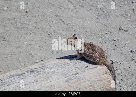 Brown ardilla americana sentada sobre un árbol