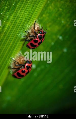 Dos mariquitas (Coleomegilla maculata) en la parte superior de un capullo de parasitoides (Dinocampus coccinellae) tal como se ve en una hoja en un maizal.