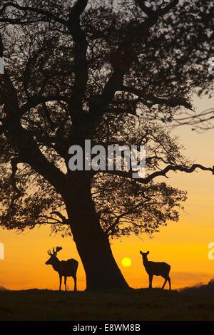 Ciervo rojo (Cervus elaphus Foto de stock
