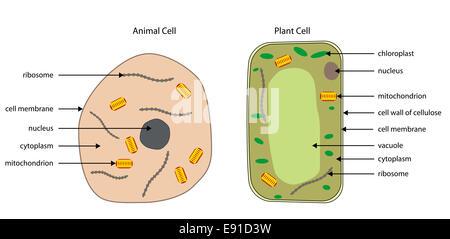 Etiquetada diagramas típicos de las células animales y vegetales con capas editables.