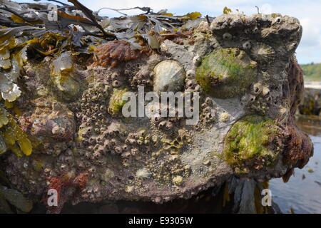 Lapa común (Patella vulgata) y Acorn percebes (Balanus perforatus) conectados a las rocas expuestas en la marea baja, Lyme Regis.