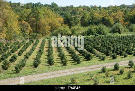 Árboles de Navidad creciendo en una granja en el estado de Nueva York EE.UU