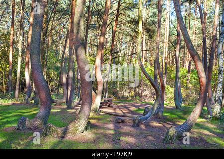 Arboleda de pinos extrañamente formados en Crooked Forest, Polonia.