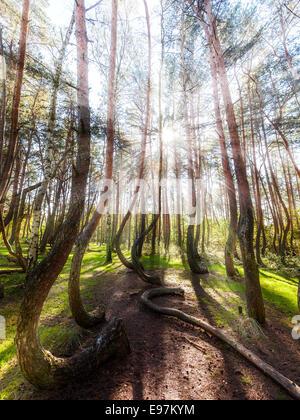 Hermosa mañana en el bosque torcido con rayos de sol y sombras largas.